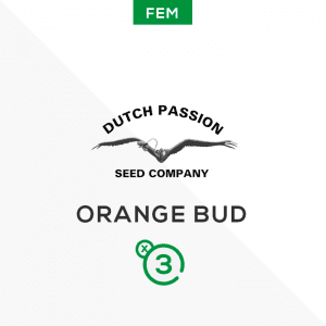 DUTCH PASSION – Orange bud