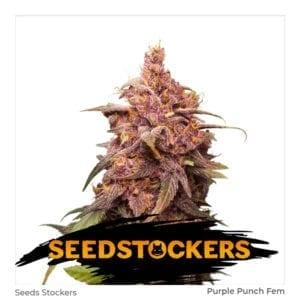 Seed Stockers – Purple Punch Fem X3