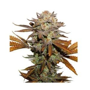 Seed Stockers – Sticky Fingers Auto x3